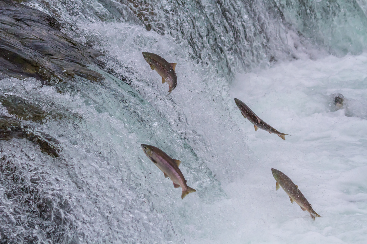 Sockeye Salmon Jumping Up Falls