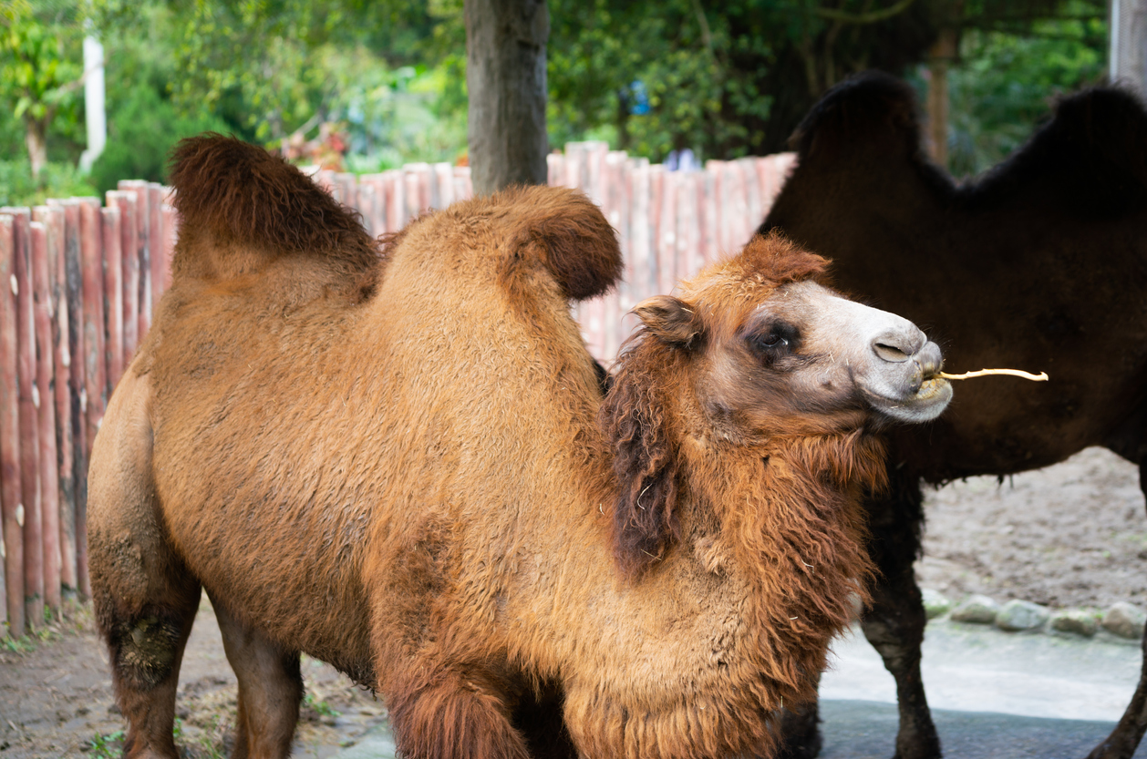 Bactrian camel or Camelus bactrianus with two humps